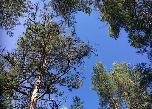 sininen taivas ja männyn latvat